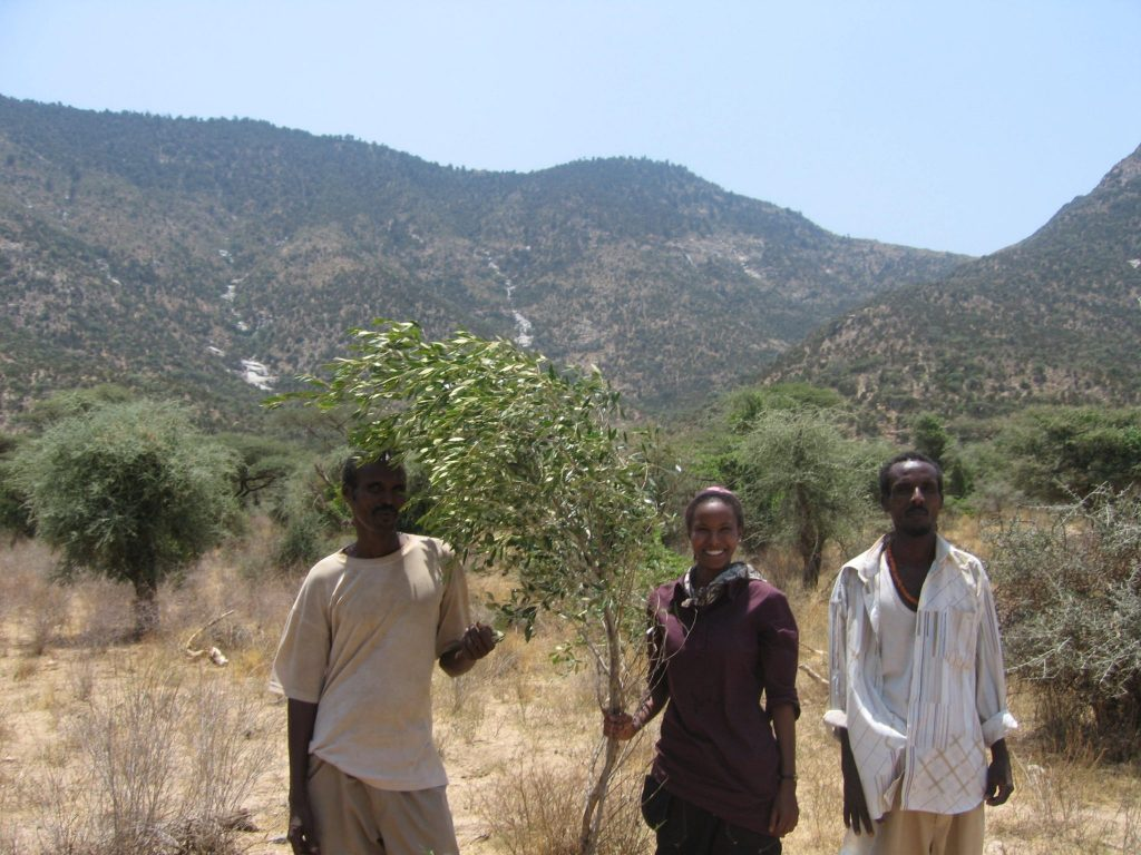 Sada Mire after mountaineering to the top of Dacawo/Dhameer Gowrac mountains with the Dhaymoole team at Laaso, collecting samples of the wagar tree, the African olive, 2007.